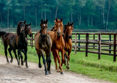 fredtigelaar_sport_paardensport_jaarboek_work-007